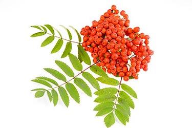 rowan-red-berry_mjyyoddo